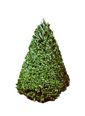 tree-doug