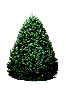 Hawaii Christmas.Grand Fir Christmas Tree Hawaii 6 7 Foot Christmas Tree