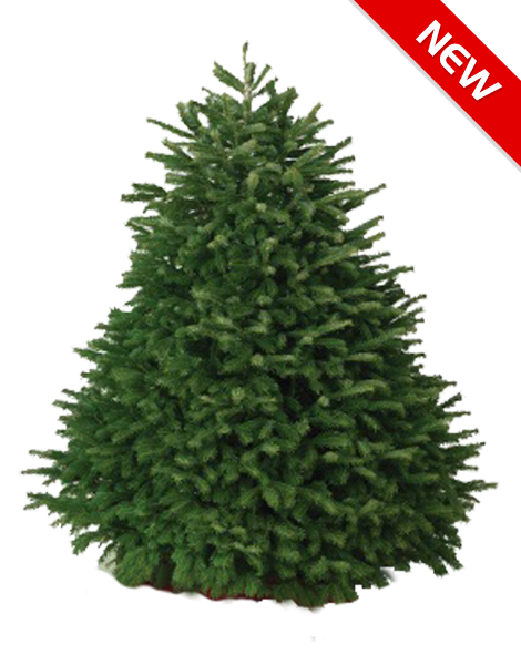 nordmann fir christmas tree hawaii