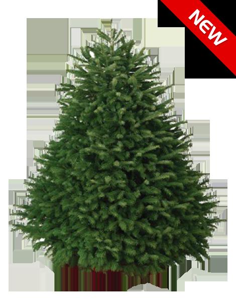6 7 ft nordmann fir - 7 Ft Christmas Tree